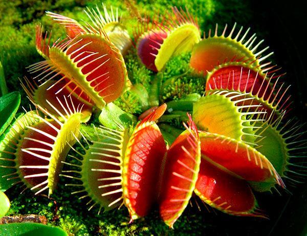 Венерина мухоловка / Хищные растения